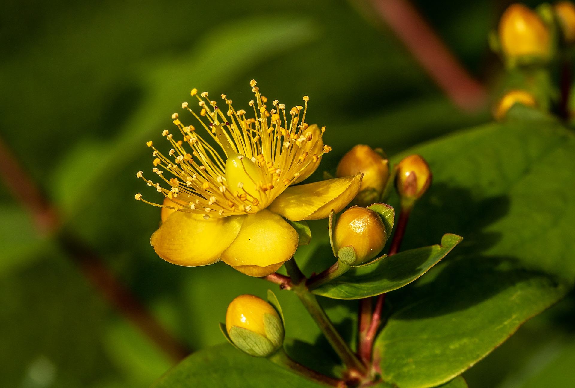 gelbe Johanniskraut-Blüte mit grünem Hintergrund