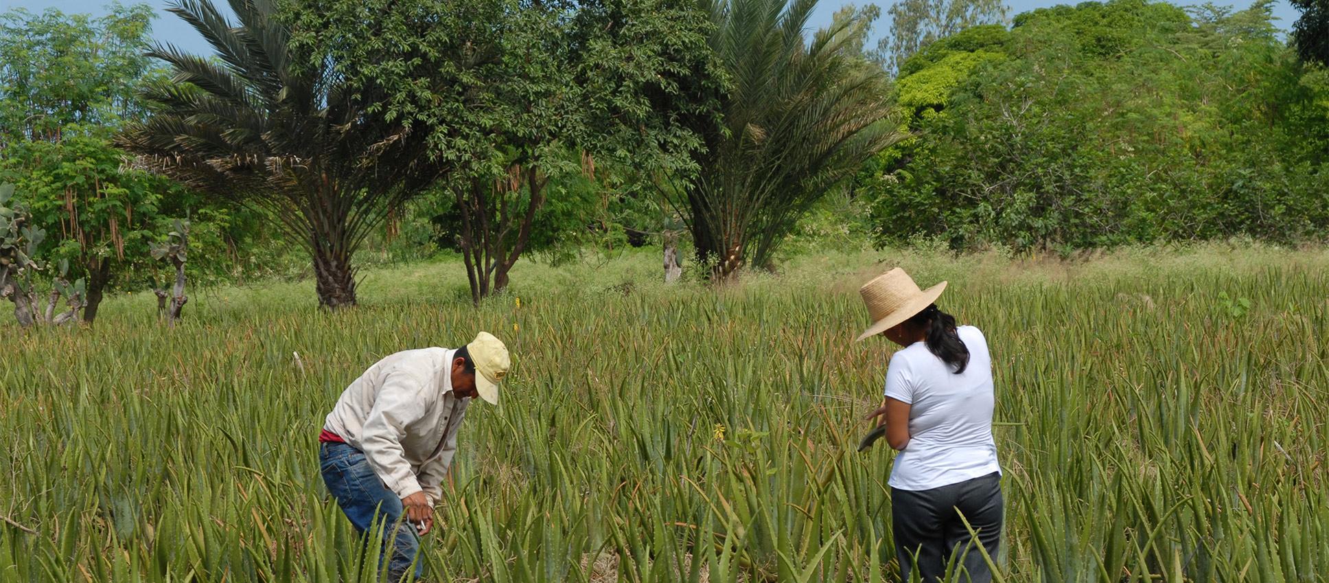 Die Ernte der Pflanzen in Ecuador von einem Frau und einer Mann