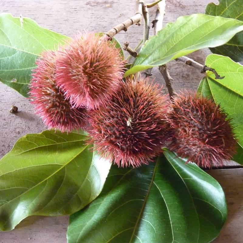 Achiote Frucht mit Blättern auf dem Tisch