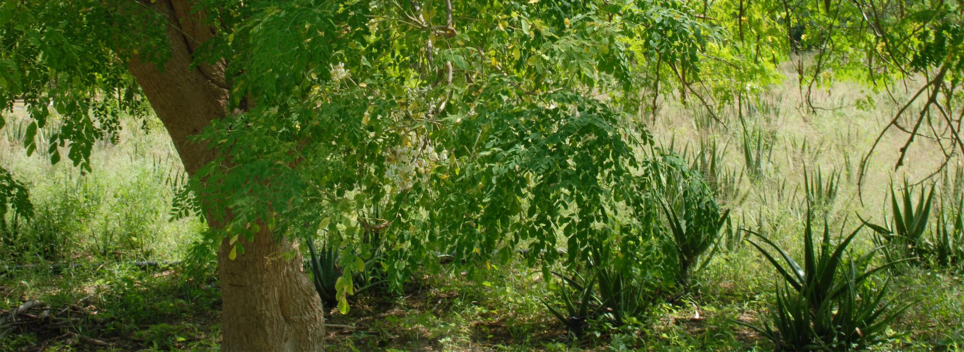Auszug einer Mischkultur mit Baum im Vordergrund und Pflanzen im Hintergrund