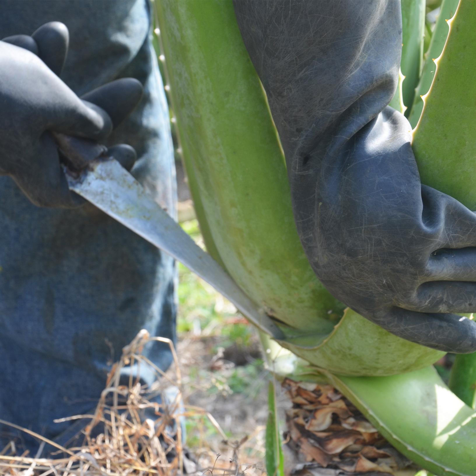 Aloe Vera Pflanze wird geerntet und das Blatt mit einem Messer abgeschnitten.