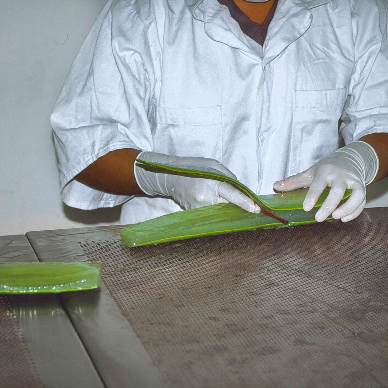 Person mit weißen Handschuhen schält Gel aus einem großen Aloe Vera Blatt aus