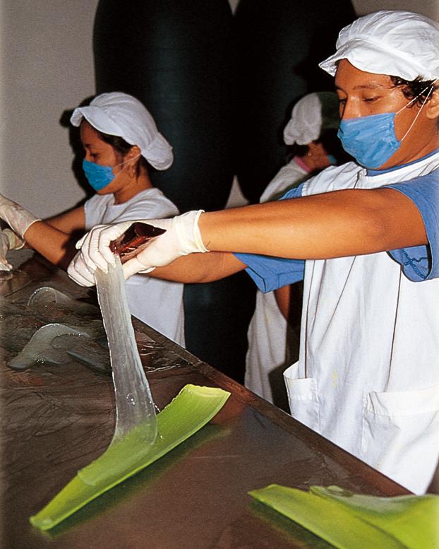 2 Frauen in weißen Arbeitskitteln schälen das Aloe Vera Gel per Hand aus der Aloe Blattrinde