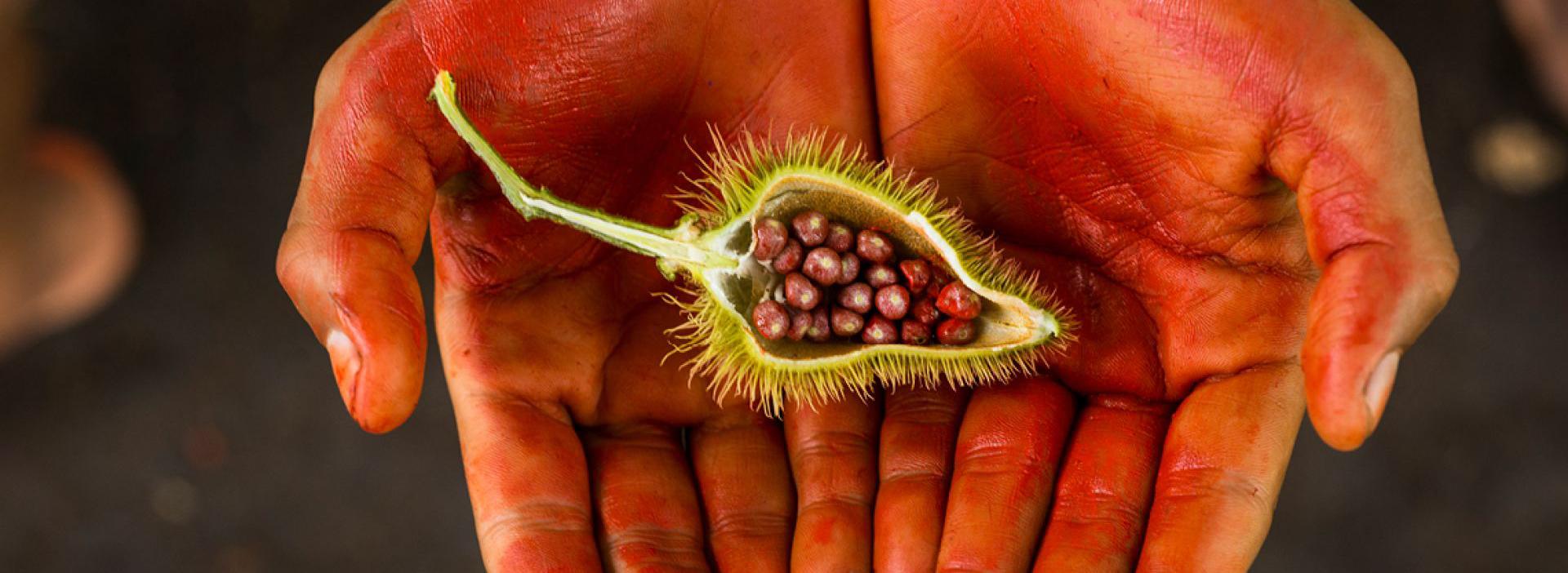 Mit Achiote Paste rot eingefärbte Hände halten eine offene Achiote-Kapsel