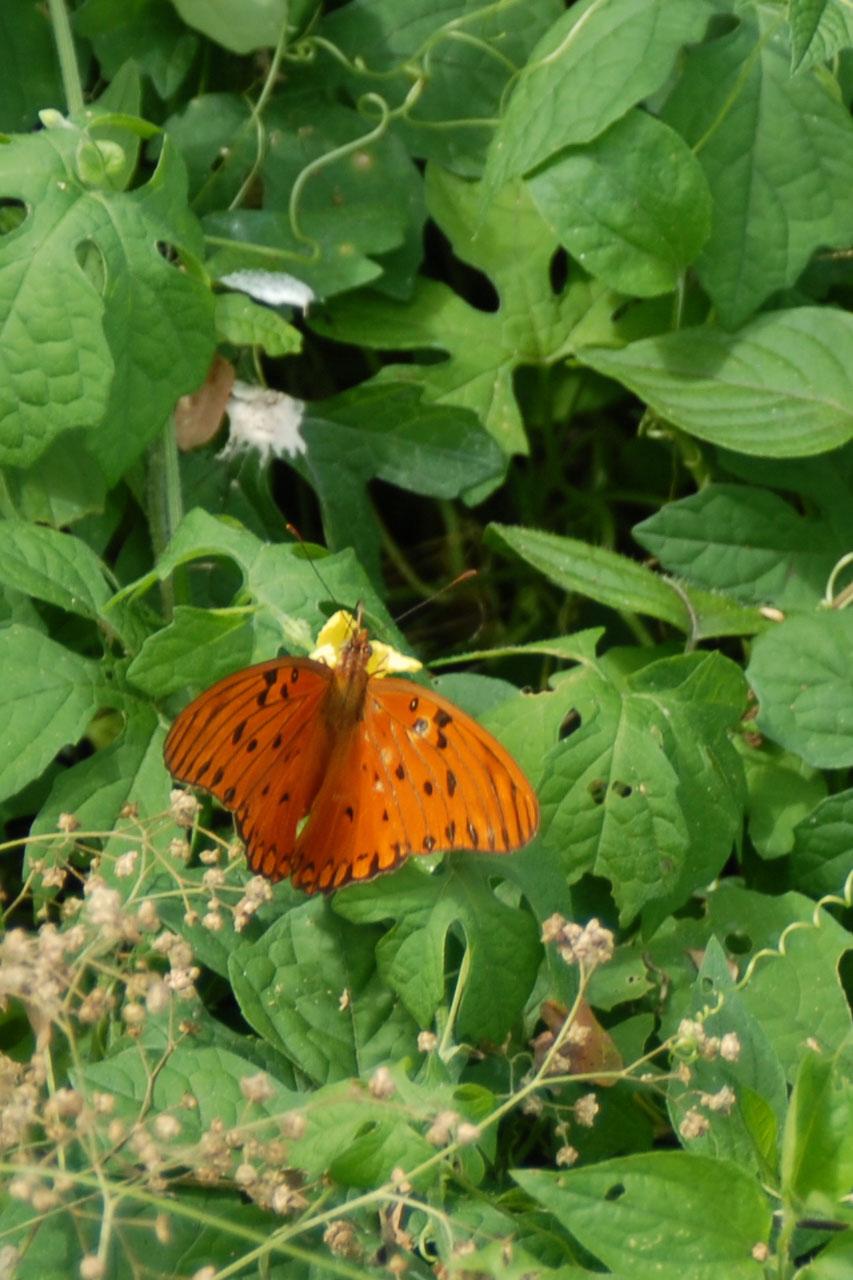 Orangener gepunkteter Schmetterling auf grünen Blättern