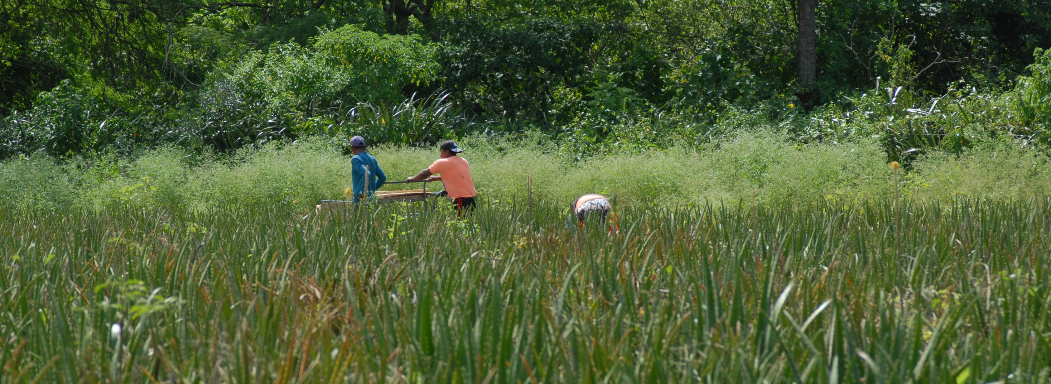 grüne Landschaft mit Aloe Vera Pflanzen und Bauern im Feld