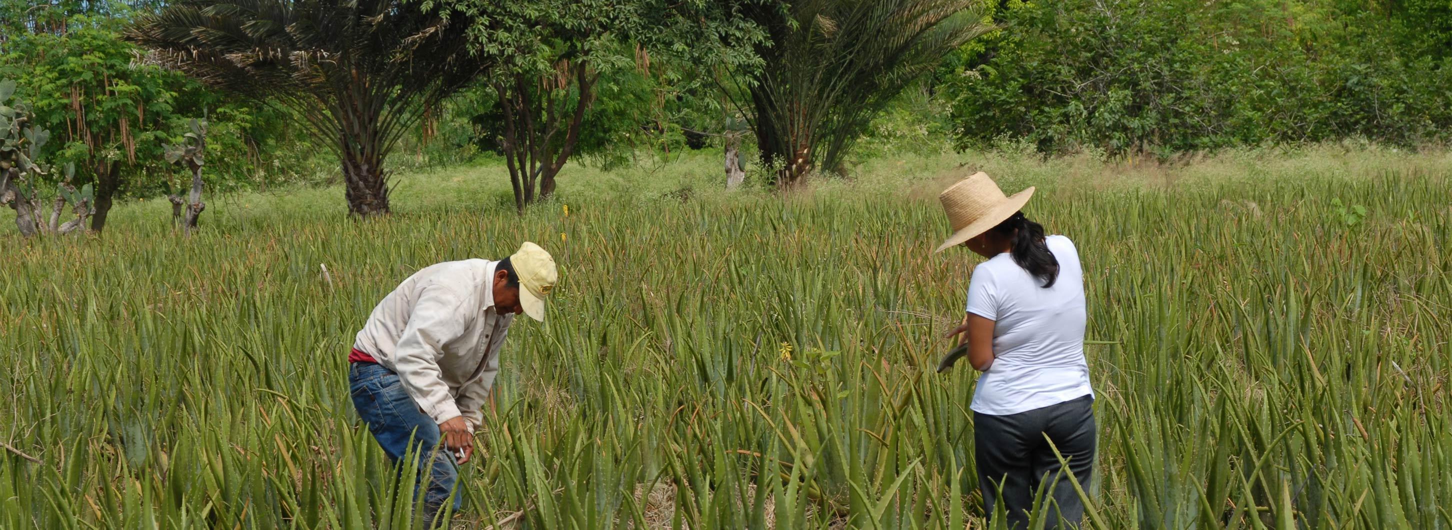 Zwei Bauern im Aloe Vera Pflanzen Feld