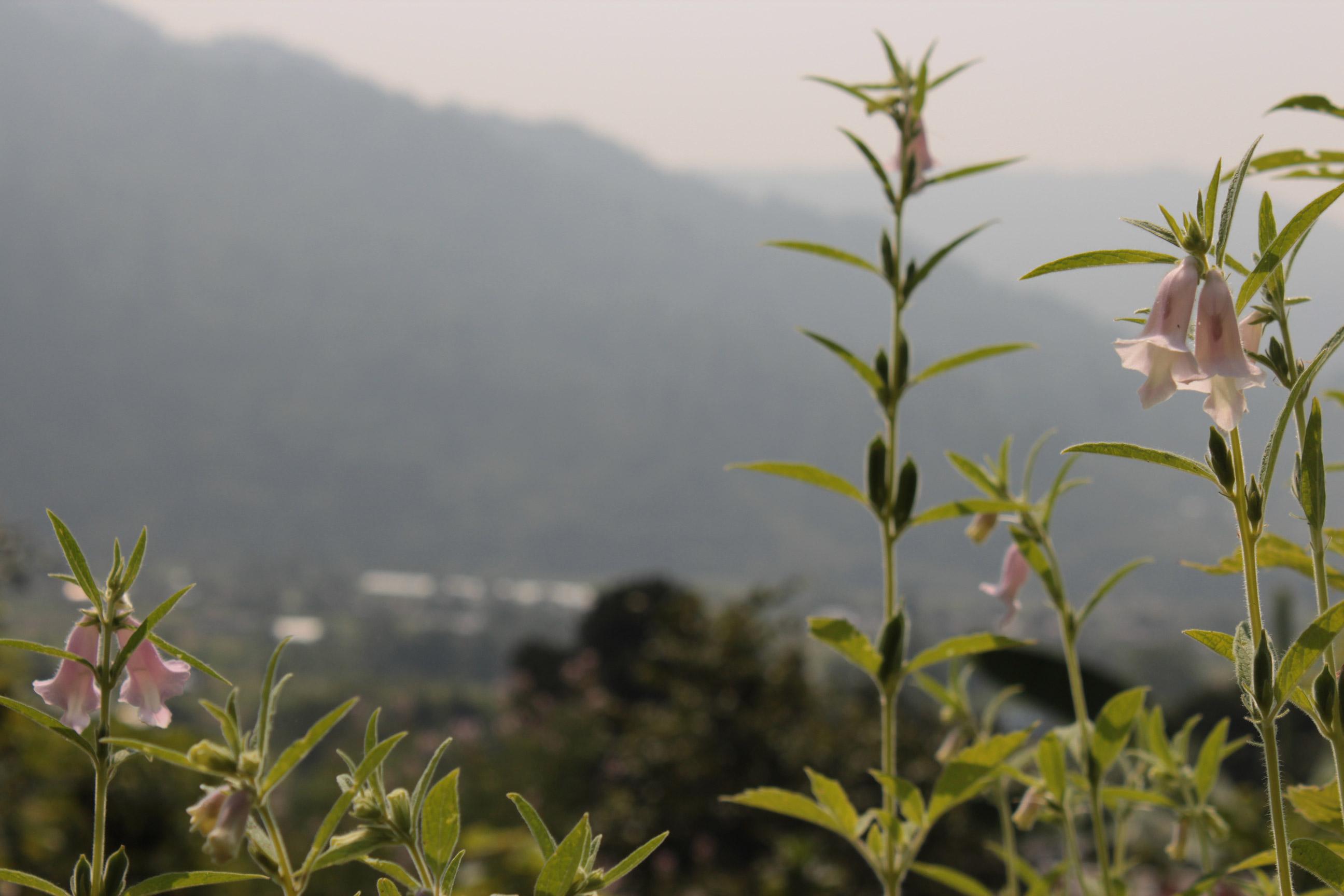 Sesam Pflanze auf Sesam Feld wächst in Natur
