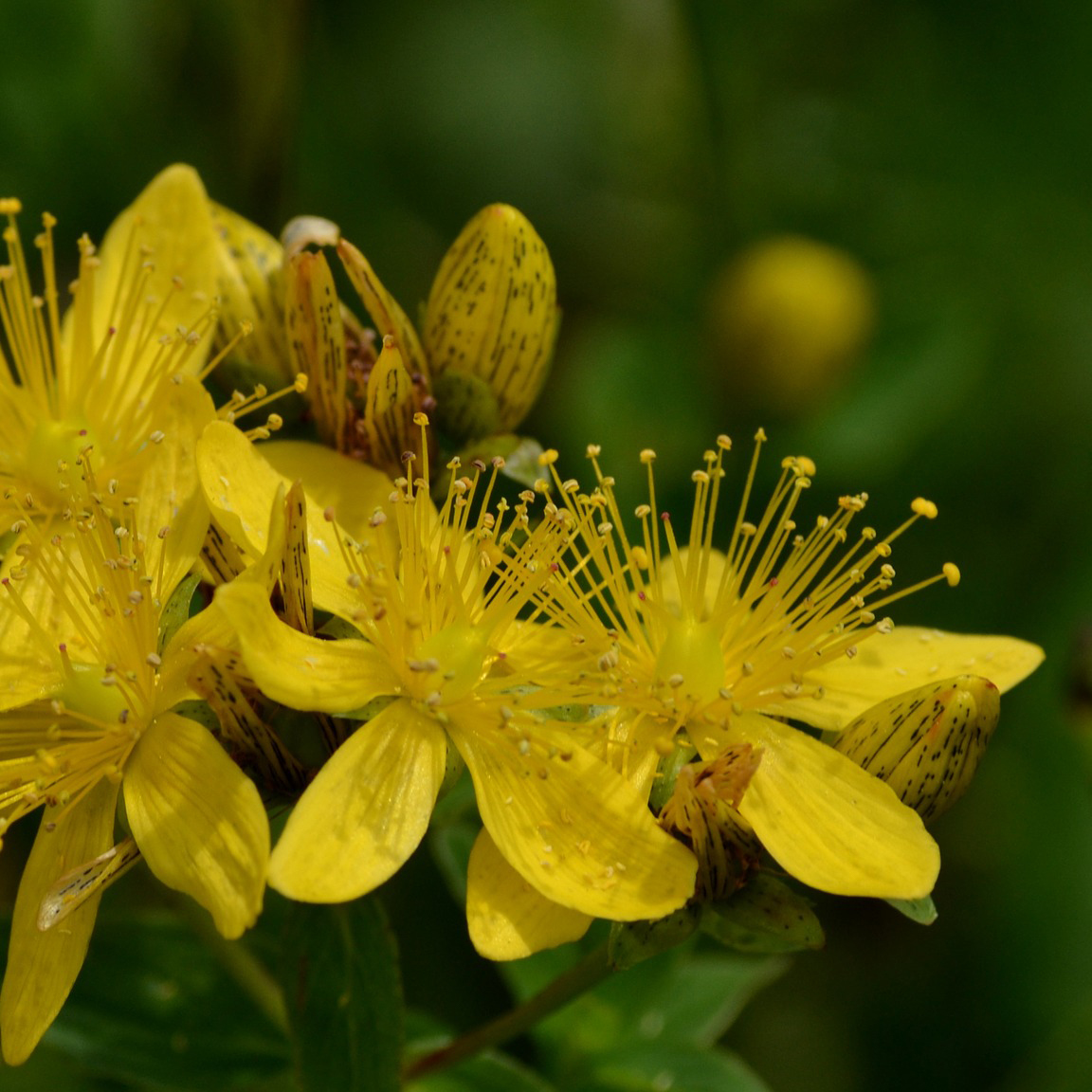 Johanniskraut gelbe Blumen mit grünem Hintergrund