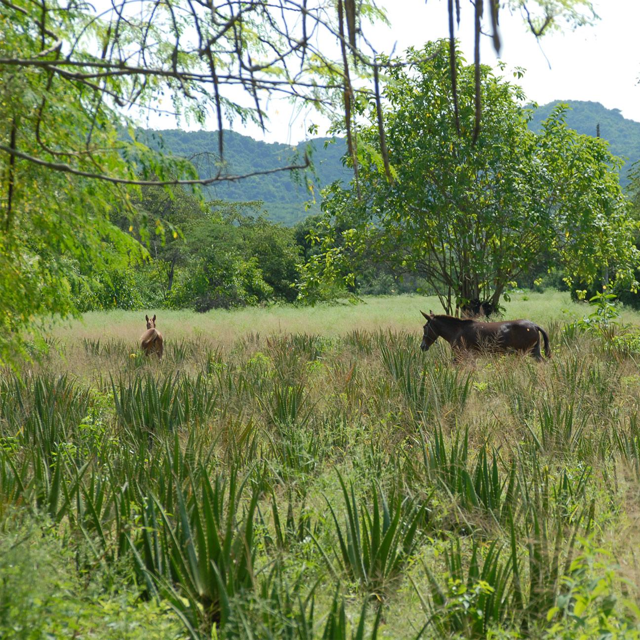 Mischkultur mit Pferd und Aloe-Pflanzen im Vordergrund