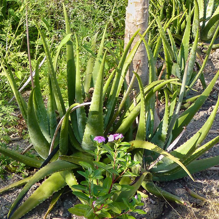 Eine Aloe Vera Pflanze ist in ihrer natürlichen Umgebung abgebildet