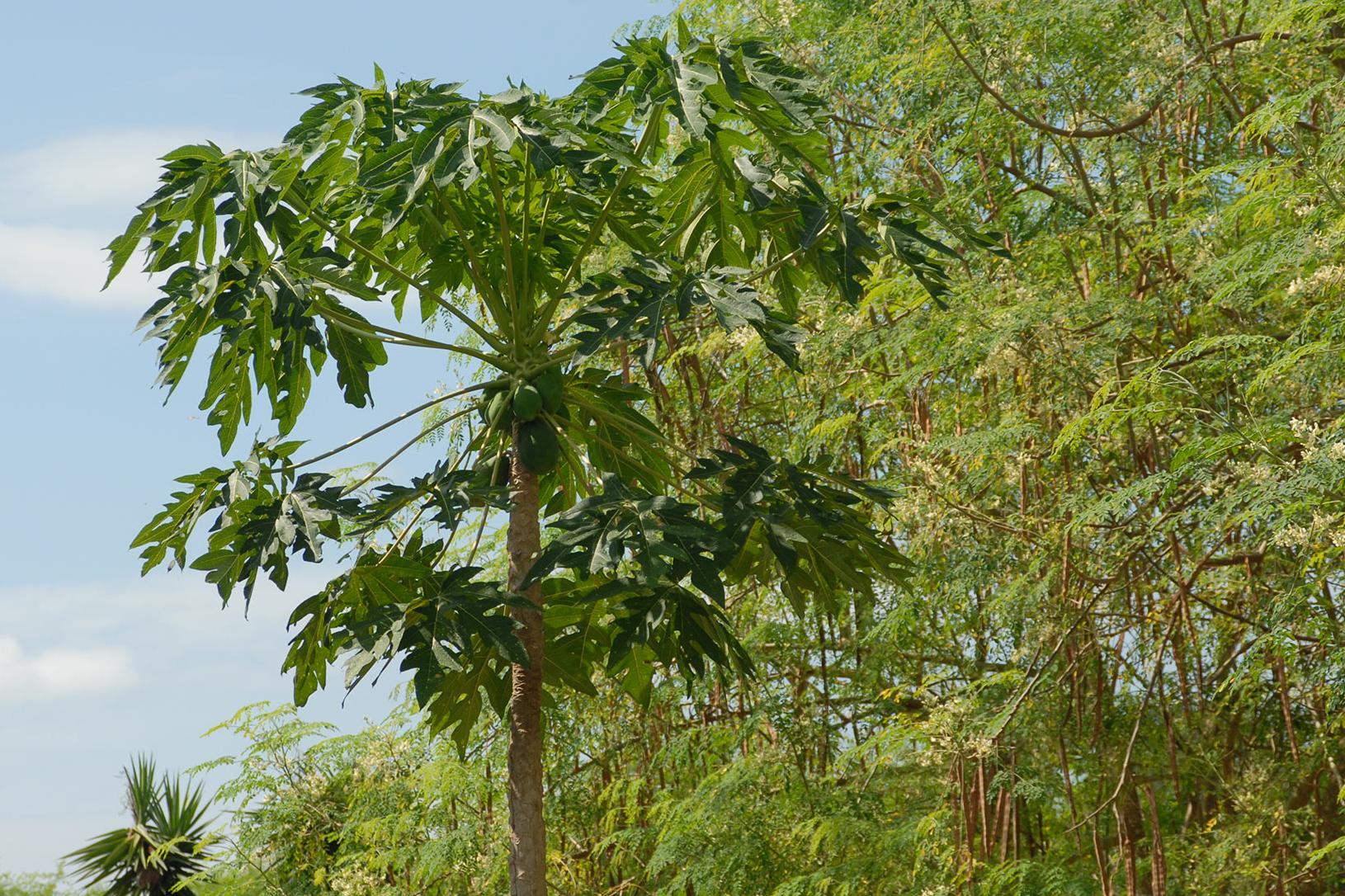 Babaco Baum wächst in Natur