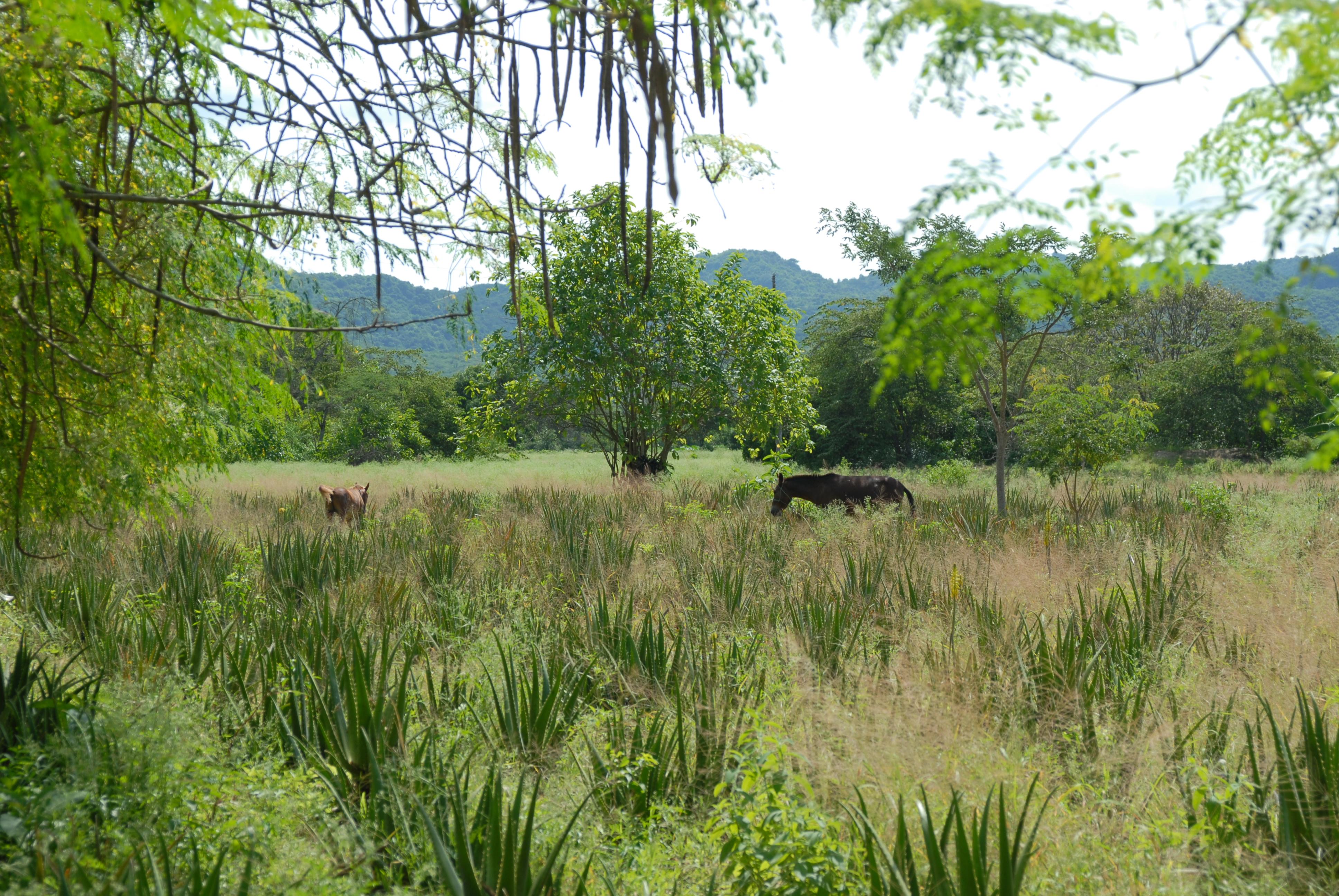 Landschaft Mischkultur mit Aloe Vera Pflanzen und Pferden