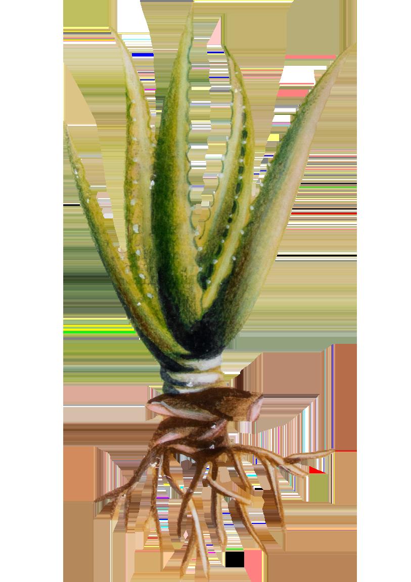 Eine Zeichnung der Aloe Vera Pflanze
