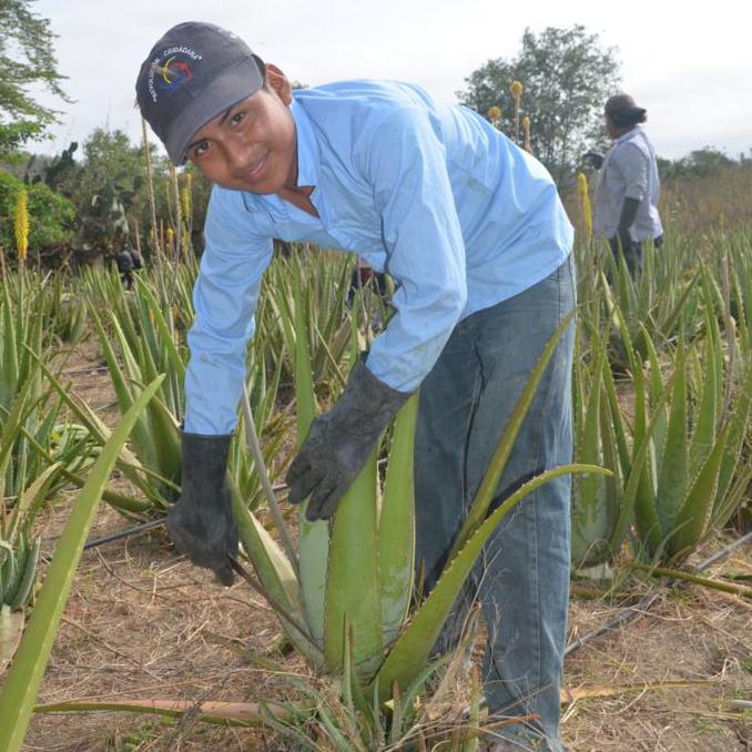 Ein Kleinbauer schneidet im Feld ein Blatt von einer Aloe Vera Pflanze ab