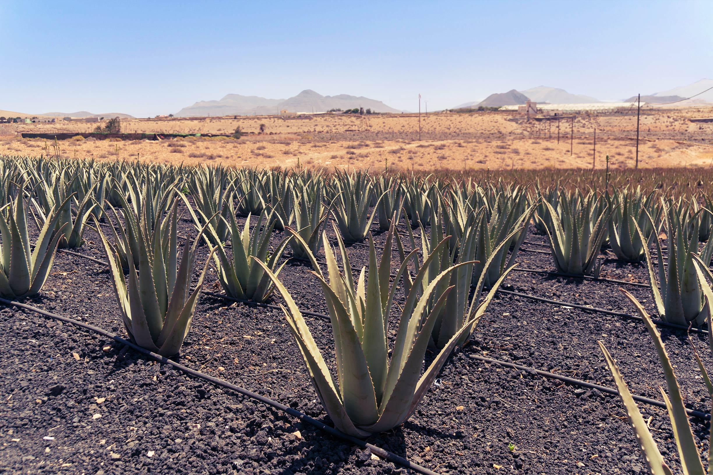 Anbau Aloe Vera Pflanzen in Monokultur auf dunklem Boden