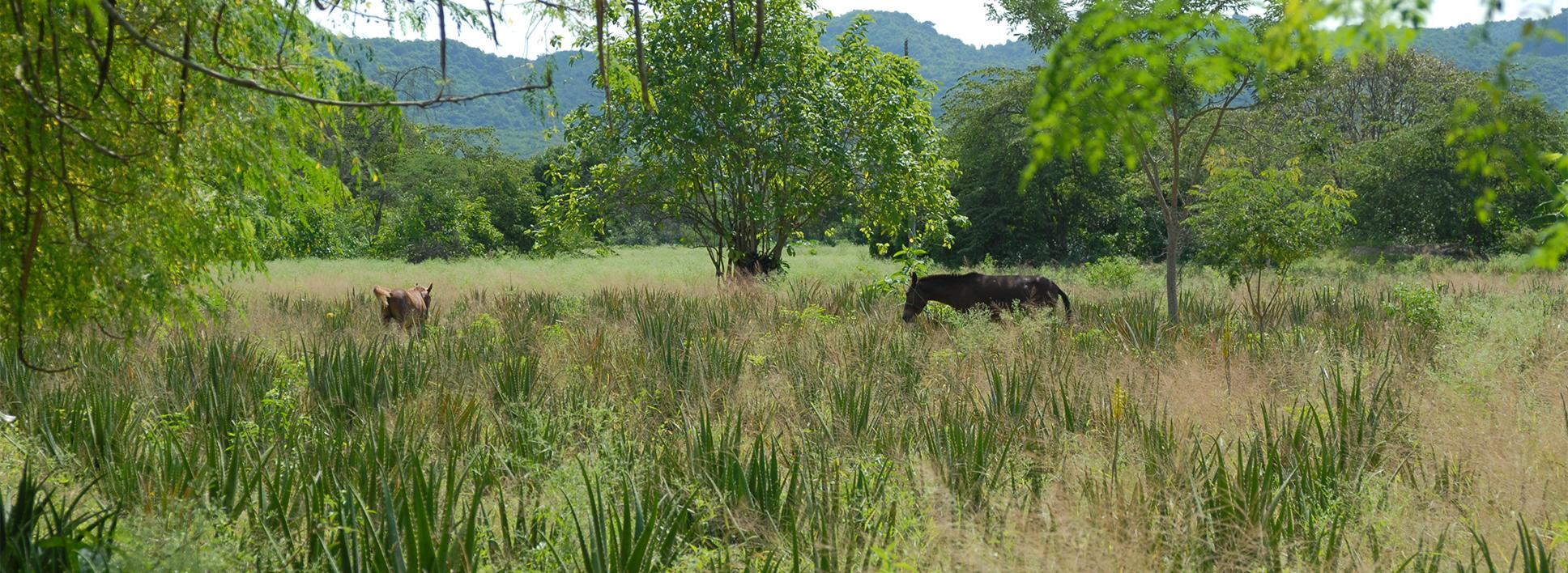 Mischkultur in Ecuador, mit Pferden im Feld.