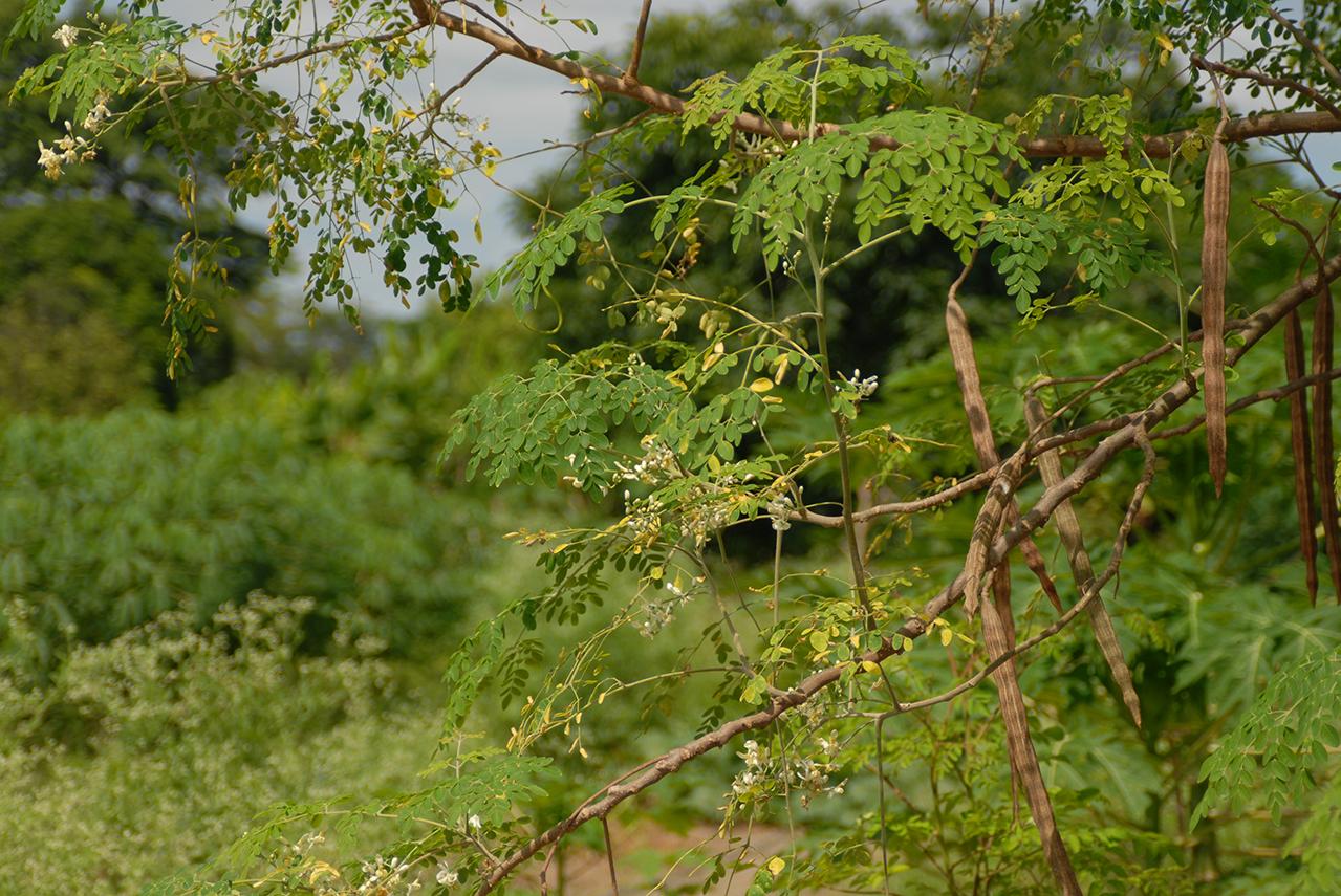 Ein Moringa Baum im Wald
