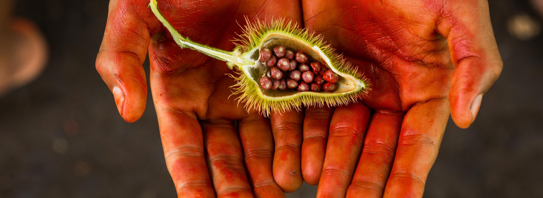 Rot bemalte offene Handflächen halten eine halbierte Achiotekapsel mit roten Beeren