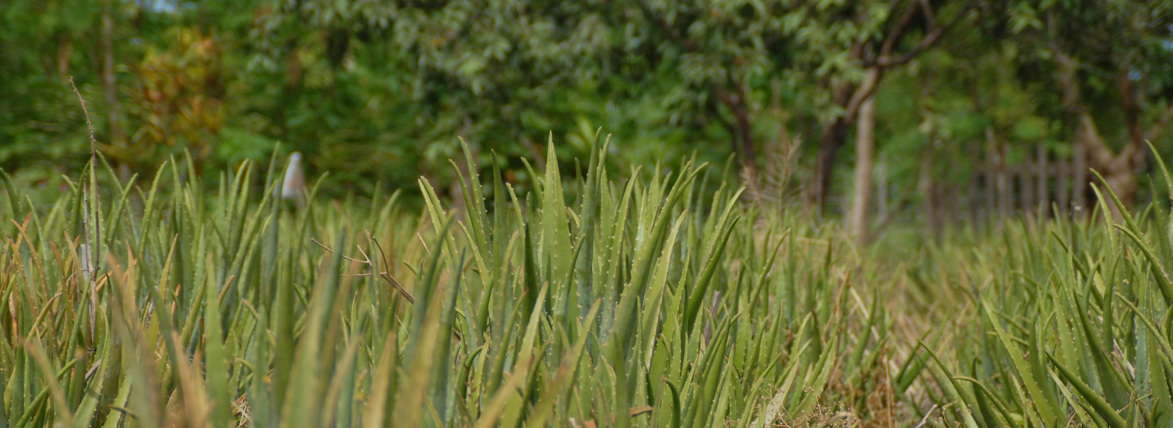 grüne Aloe Pflanzen wachsen in freier Umgebung