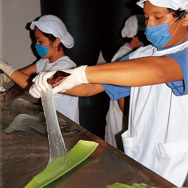 Handausschälung und Verarbeitung des Aloe Vera Gels von Einheimischen